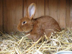 Kaninchen mit Milben