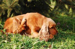 Herbsgrasmilben beim Hund