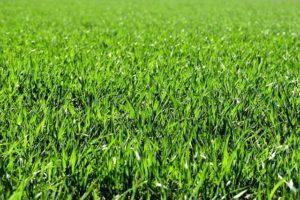 Grasmilben beim Hund - Grasmilben lauern gerne im Gras
